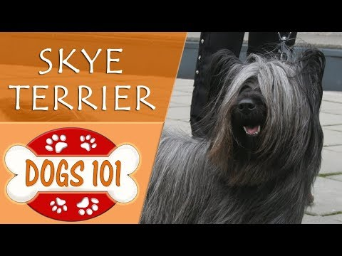 Dogs 101 - SKYE TERRIER - Top Dog Facts About the SKYE TERRIER
