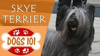 Dogs 101  SKYE TERRIER  Top Dog Facts About the SKYE TERRIER