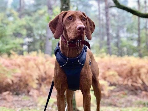 Cuba - 10 Month Old Hungarian Vizsla - 2 Weeks Residential Dog Training