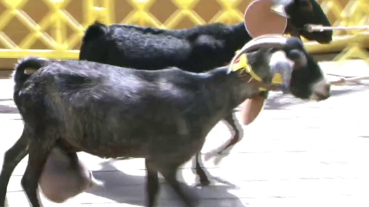 Cabras ovejas carneros y machos premiados feria de - Gran canaria tv com ...