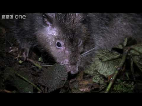 Giant Rat discovered - Lost Land of the...