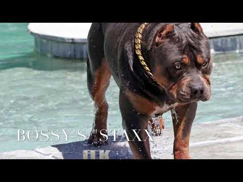 XL PITBULL PUPPIES; CHAMPAGNE PUPPIES; BLUENOSE PUPPIES; MANMADE'S