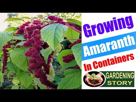 Growing Amaranth In Containers | How To Grow Amaranthus | Gardening Story