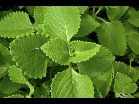 THIS HERBAL MEDICINE CAN CURE MANY HEALTH PROBLEMS!