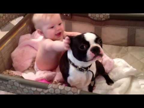 Crazy Boston terrier in baby