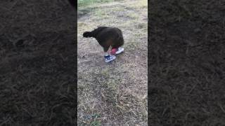 My chicken Becky with her new shoes!!