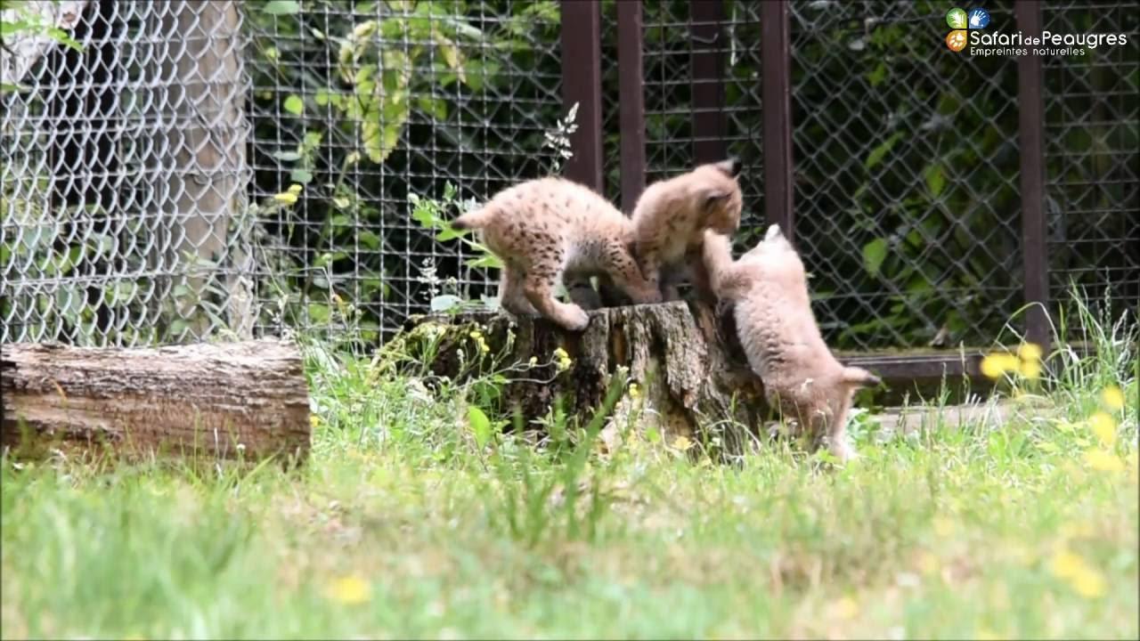 Quatre bébés lynx