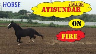 Atisundar showing energy | Lagam free running stallion | M K farm | Ahmedabad
