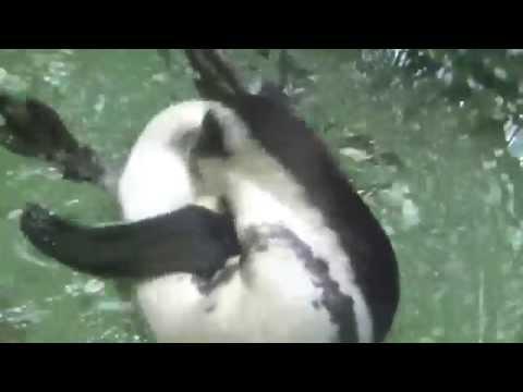 African Penguin (Spheniscus demersus) Prague Zoo פינגווין אפריקאי