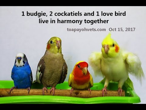Budgie, love bird and cockatiels live in harmony in the apartment