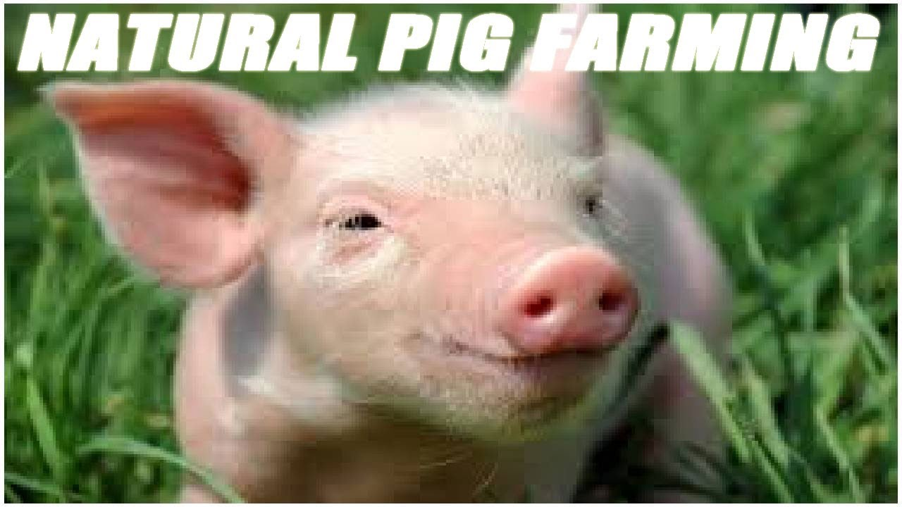 natural pig farming for beginner farmers youtube