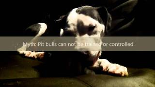 American Pit Bull Terrier Myths And Facts