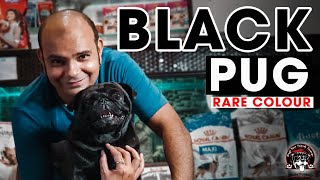Black PUG Puppy Dog | Small Toy Dog Breeds in India | Vodafone Dog | Pug for Sale | Baadal Bhandaari