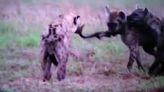 【共食い丸飲み映像】 アフリカウシガエルがヒキガエルを丸飲み捕食する...