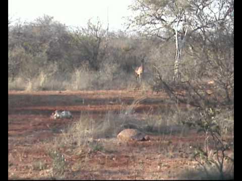 Impala Hunt Messina South Africa