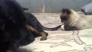 Кошка терроризирует собаку