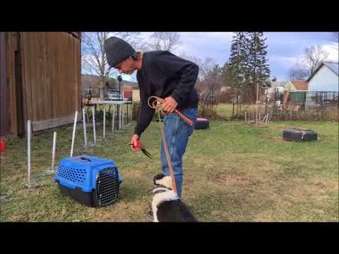 Why Train Puppy Important Kennel up command / New York city dog Training