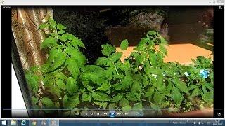 Высадка томатов в открытый грунт.Выращивание томатов в открытом грунте.(Как высаживать томаты в открытый грунт.В этом видео вы увидите мои весенние посадки томатов, перцев, баклаж..., 2015-05-20T15:55:49.000Z)