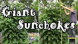 Giant Sunchokes Grown in Free Wood Chip & Coffee Ground Compost (Jerusalem Artichokes)