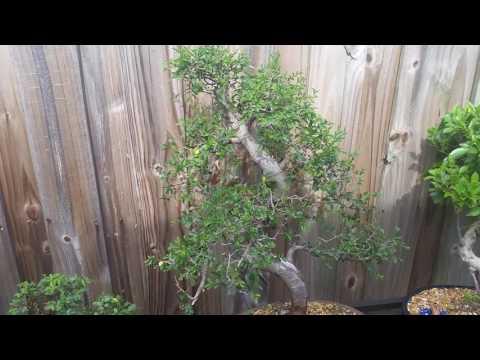 Bonsai Trimming Basics - Trimming Japanese Elm Bonsai