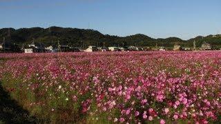2006年兵庫国体でおもてなしの一環として始めたコスモス祭り 東飯坂...