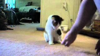 Cat Tricks Clicker Training #1 - Callie Week 1