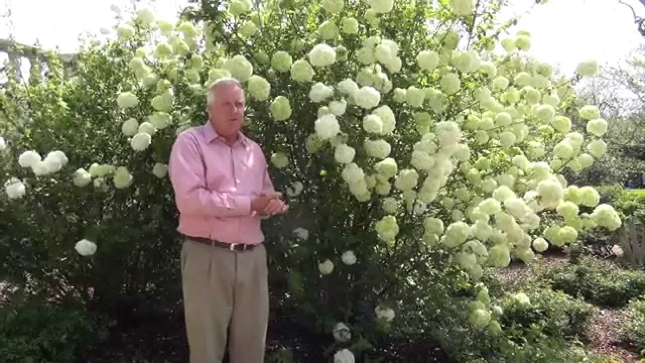 How to Grow Snowball Trees