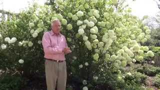 In the Garden with Dave Forehand: Chinese Snowball Viburnum