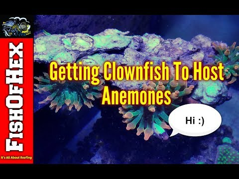 Getting New Clownfish To Host | Anemone Tank Update