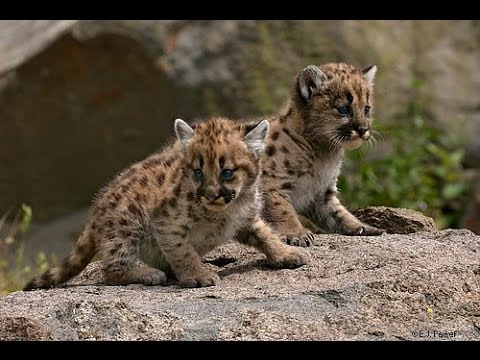 Baby Cougar Cubs - YouTube