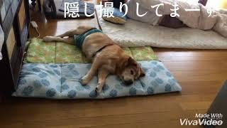 隠し撮り【たそがれゴンタの介護中】Care in dog 🐶 thumbnail