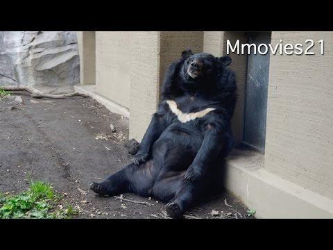 Asian Black Bear 口から音を発するヒマラヤグマ