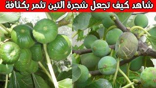 شاهد كيف تجعل شجرة التين تثمر بكثافة - كيفية زيادة ثمار شجرة التين