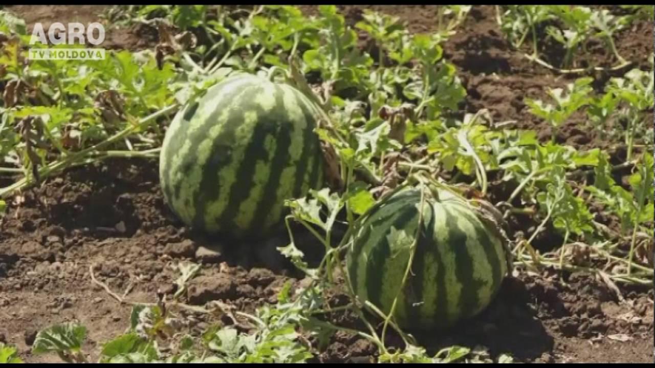 pepene verde de la varicoseza)