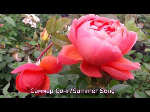 Вопрос: Сорт розы Летняя песня, или Summer Song какие отзывы, мнения?