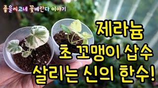 제라늄 (Pelargonium) 초미니 삽수 뿌리 내려…