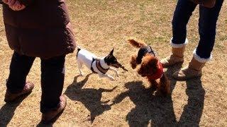 いつもの公園で年下のお友達、トイプーのミニョンちゃんと追っかけっこ...