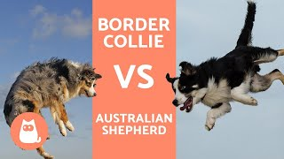 Border Collie vs Australian Shepherd  What are the DIFFERENCES?