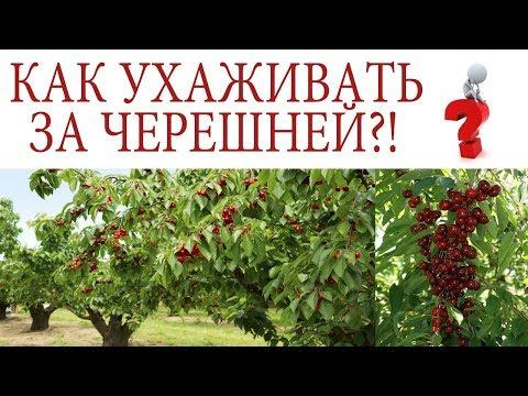 Вопрос: Чем подкормить черешню весной?