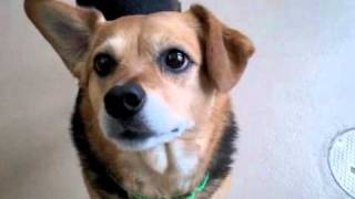 Roxy A Beagle:australian Cattle Dog Mix Available For Adoption At The Wisconsin Humane Society