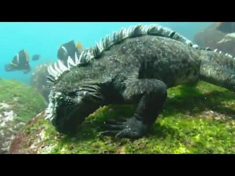 Swimming Marine Iguanas | Galapagos | BBC Earth