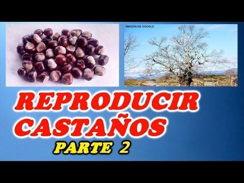 Como reproducir áboles castaños por su fruto ( 2ª Parte ) Destacados// Siembra