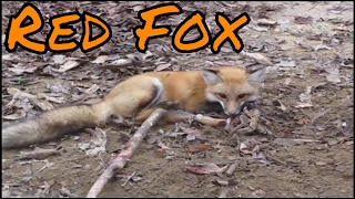 Trapping Red Fox with Footholds!