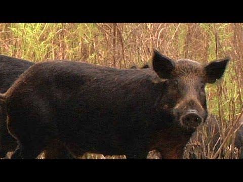 Feral Pigs 03  Music   Dangerous Animals