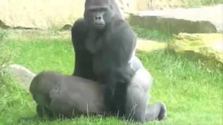 Download Video video gorila kawin mirip manusia lucu banget bikin ngakak wkwkwk MP3 3GP MP4