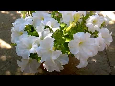Как добиться пышного цветения петуний в контейнерах
