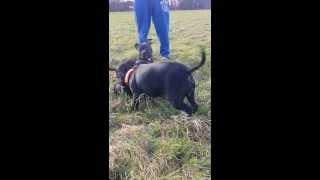 Staffordshire Bull Terrier Pup's Dublin Ireland