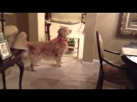 Golden Retrievers Playing Hide and Seek