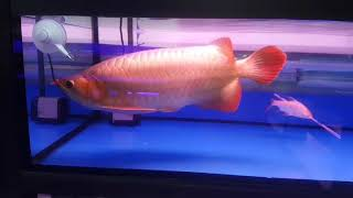Sumo super red arowana size 40cm up ! rare and already start showing the colour 😍
