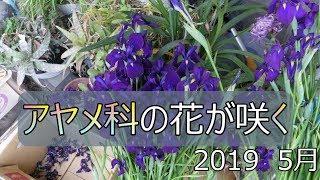 アヤメ科の花が咲く 2019年5月